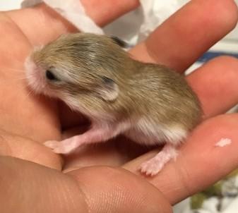 ロボロフスキーの赤ちゃん