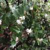 ヒイラギの花に想う・・・。